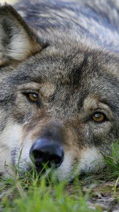 720x1280 wallpaper Relaxed, predator, wolf, muzzle