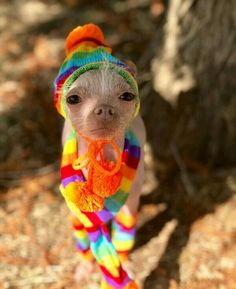 Okay Mother Nature, todays the first day of fall and I'm waiting for cooler temps. still waiting. Chihuahua Dogs, Pugs, Chihuahuas, Round Dog Bed, Animal Dress Up, Still Waiting, Dog Memes, Happy Dogs, Cute Animals
