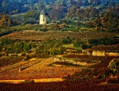 The warm autumn colours of the vineyards in Santenay, Joint department of Côte-d'Or, Burgundy.