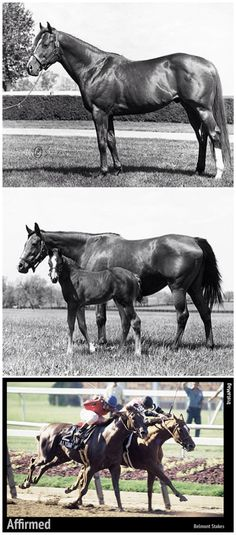 The 1978 Triple Crown winner Affirmed: His sire Exclusive Native (top). Affirmed as a foal, with his dam, Won't Tell You (middle). Affirmed defeating Alydar to win the Belmont Stakes (bottom). He won $2,887,999 in prize money from 22 wins 5 seconds & 1 third (29 starts).
