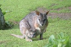 Paradise Valley Springs Wildlife Park - Wallabies - Being a marsupial they carry their young in their pouch - for approximately 250 days. At the moment we have four mothers with baby joeys in their pouches.