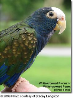 White-crowned Pionus... this is what my Romeo is. he is mean as hell. as good as i am to him and as mean as he is to me. i should give him to someone that would put him in a small dirty cage with nasty drinking...lol not