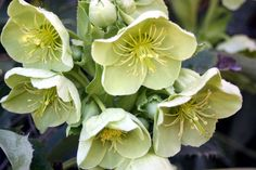 How to grow Hellebores - YouTube