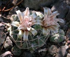 Gymnocalycium capillaense by The Ruth Bancroft Garden, via Flickr  Ruth Bancroft Cactus & Succulent Garden. -- Walnut Creek, CA -- www.ruthbancroftgarden.org