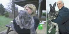 gigantic lagomorph Large Rabbits, Dogs, Animals, Animaux, Doggies, Animales, Animal, Pet Dogs, Dieren