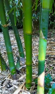 These are new culms from Bambusa oldhamii 'Giant Clumping Timber Bamboo'.  I love the bright green color!  This was taken at Mad Man Bamboo Nursery in Rocklin, CA. www.madmanbamboo.com