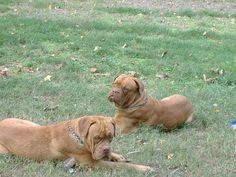 Dogue de Bordeaux puppies (French Mastiff)