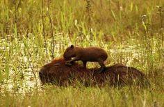 Capybara and baby. So cute!