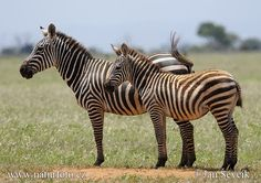 Burchell's Zebras ~ Cool, they have stripes inside of their stripes!