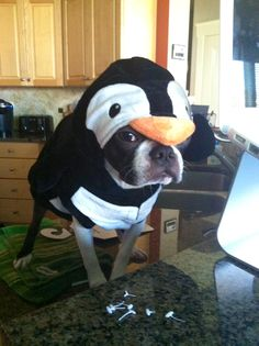 Boston Terrier Costume - Penguin