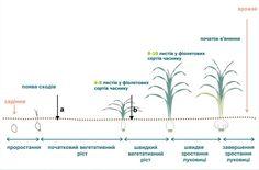 Удобрення часнику. Норми, графіки | Блог о чесноке UkrUP Line Chart, Garlic, Map, Location Map, Maps
