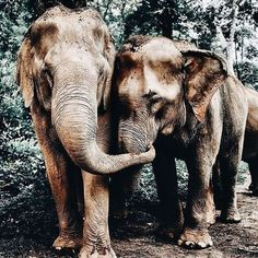 As the world's largest animals elephants can reach up to 3 meters tall! As the world's largest animals elephants can reach up to 3 meters tall! As the world's largest animals elephants can reach up to 3 meters tall! Photo Elephant, Elephant Love, Large Animals, Cute Baby Animals, Animals And Pets, Happy Animals, Safari Animals, Amazing Animals, Animals Beautiful