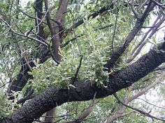 Banksia serrata P5270217 - Banksia serrata - Wikipedia