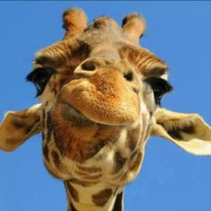 ♡ Giraffes