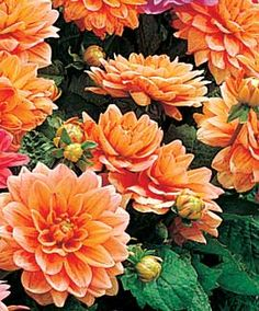 Orange Kleene Dahlia, a low-growing border plant that blooms mid-summer to fall. Needs sun, but deer-resistant.