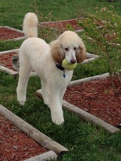 6-month old sable Standard Poodle