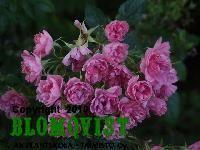 Rosa `Pink Grootendorst´Nejlikros Rosa Pink, Plants, Flora, Plant