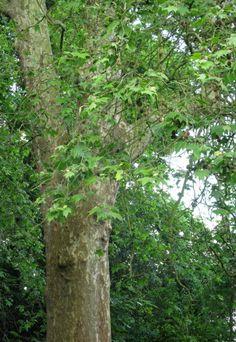platanus x hispanica - gewone plantaan schaduwboom langs lanen en pleinen. Makkelijk herkenbaar door bijzondere shors. Ze verdragen zware snoei en luchtvervuiling. Handvormige bladeren.