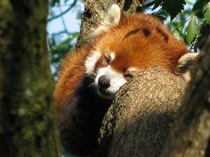 Red panda #animal