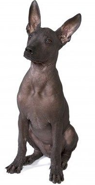 Xoloitzcuintli, The Mexican Hairless Dog - Small Dog Place Puppies And Kitties, Chihuahua Puppies, Baby Puppies, Chinese Crested Hairless, Mexican Hairless Dog, Rare Dogs, Rare Dog Breeds, Baby Animals, Cute Animals