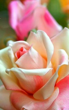 It is the time of the year in which the rose garden, me - Floral Garden Ideas Beautiful Rose Flowers, Amazing Flowers, Flowers Perennials, Planting Flowers, Rainbow Roses, Growing Roses, Annual Flowers, Parts Of A Plant, Rose Photography