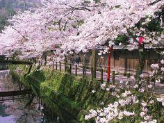 木屋町小路_桜.jpg (1400×1050)