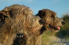 Doris' Irish Wolfhounds