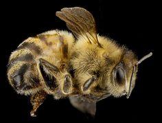 Honey bee face, Apis mellifera, Beltsville Maryland