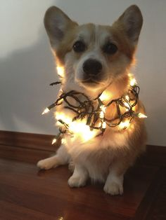 Twinkle Corgi: Cute Pembroke Welsh Corgi Hummer, in his (Corgi battery-powered) Christmas lights - which were instantly retired. No more costumes for this corgi!