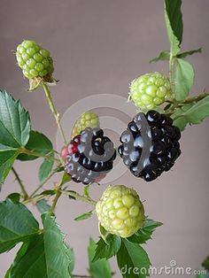 Blackberry or broad-leaf bramble - Blackberry, wild blackberry complex, shrubby blackberry, european blackberry, tempu rengat, broad-leaf bramble, malayan bramble,  black heg, raspberry, akar kupur or duri berumbet - The Rubus fruticosus is an edible soft fruit, consisting of a cluster of soft purple-black drupelets.