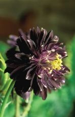 chocolateflowerfarm.com, chocolate flowers, chocolate candles, teas, gifts, specialty plants, seeds - Plants