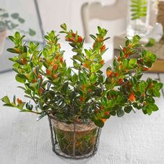 Indoor Goldfish Plant Featured Orange Flowers Bright Goldfish Houseplants In Your House Check more at http://www.wearefound.com/bright-goldfish-houseplants-in-your-house/