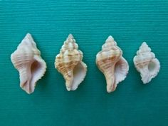aFrom left to right… MAUVE-MOUTH DRILL, RIBBED CANTHARUS, GULF OYSTER DRILL and a PITTED MUREX.  Here are the apertures…