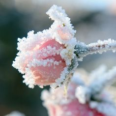 Frosty Roses*****Follow our unique garden themed boards at www.pinterest.com/earthwormtec*****Follow us on www.facebook.com/earthwormtec for great organic gardening tips