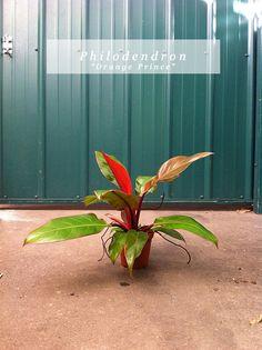 Indoor plants on pinterest low lights indoor and houseplant for Low water indoor plants