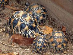 Radiated Tortoise (Astrochelys radiata) (cowyeow 2014)