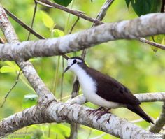 Tambourine Dove, Africa