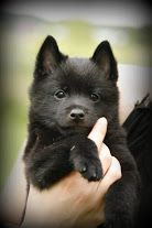 So pretty! Cute Puppies, Cute Dogs, Dogs And Puppies, Doggies, Schipperke Puppies, Puppys, Dog Lover Gifts, Dog Lovers, Indoor Pets