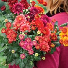 How to plant and grow chrysanthemums | Sarah Raven