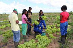 Una porción de la excelencia tecnológica que Brasil empleó para revolucionar su agricultura tropical está llegando a pequeños productores de Mozambique. Pe
