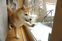 庭で雪遊び | 柴犬マコと、