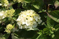 HYDRANGEA macrophylla 'Mme E Mouillere' Hydrangea Macrophylla, Plants, Hydrangeas, Plant, Planting, Planets, Hydrangea