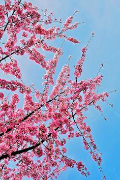 Cherryblosoms Curtain!|Retha Tahir