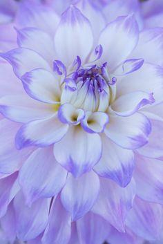 'Nuff Said!' - Lavender Dahlia Macro by Snyppeds