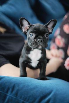 French Bulldog Puppy !!! #dog #cute