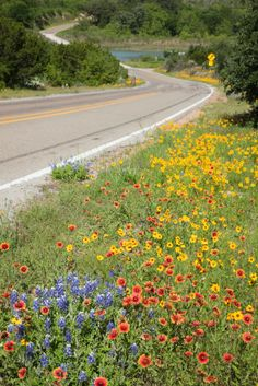 Wildflowers - bluebonnets, indian blankets, black-eyed susans