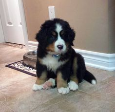 7 week old bernese mountain dog