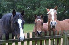 New Forest ponies at my fence - I know these 3 very well!