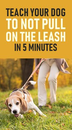 dog walking Heres How You Can Stop Your Dog Pulling On The Leash. These training tips will help you overcome leash pulling very quickly and will also make you enjoy walking your dog on a loose leash. Dogs Tumblr, Dog Pitbull, Puppy Husky, Samoyed Dog, Background Grey, Best Dog Training, Training Pads, Agility Training, Training Classes