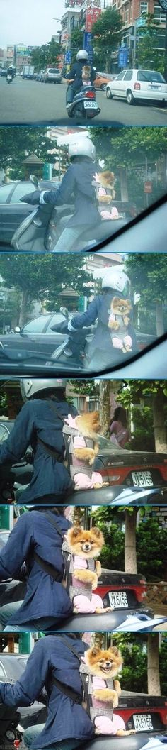 hehehe... this world is funny, how does this dog love the ride